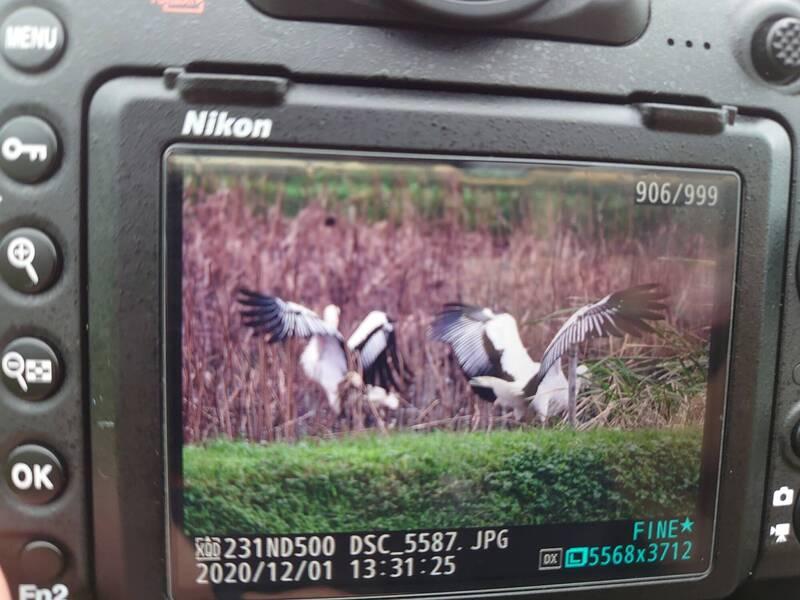 新北市金山濕地今天來了第二隻瀕危的東方白鸛,鳥友難得拍攝到東方白鸛同框,心情興奮不已。(圖為拍鳥俱樂部陳秋薇提供)