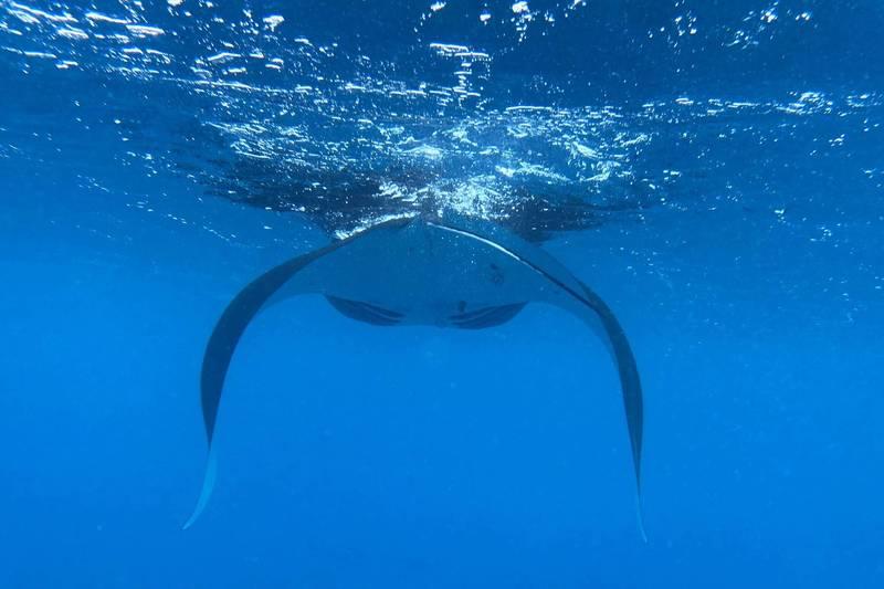 墾丁海域連續出現鬼蝠魟,悠游影片羨煞各地潛水愛好者。(余教練提供,記者蔡宗憲翻攝)