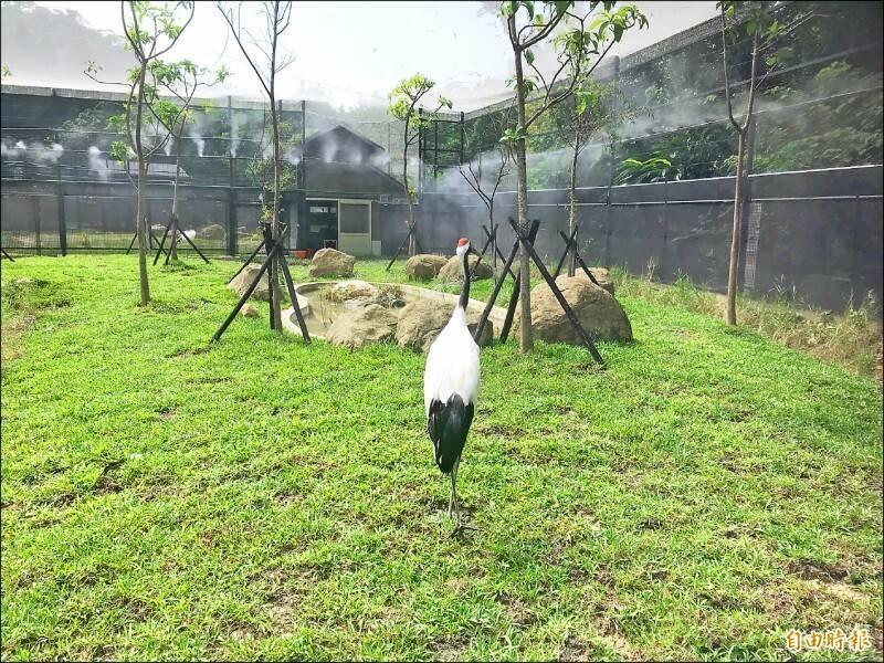 台北市立動物園去年為來自北海道釧路市的丹頂鶴打造新家,提供更舒適的生活環境。(資料照)