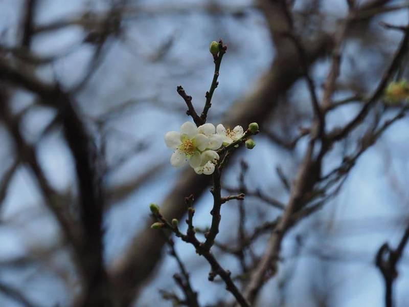 東北季風持續影響,加上冷空氣增強,全台氣溫再降,位在太魯閣天祥梅園的梅花已悄悄開了幾朵。(太魯閣國家公園提供)