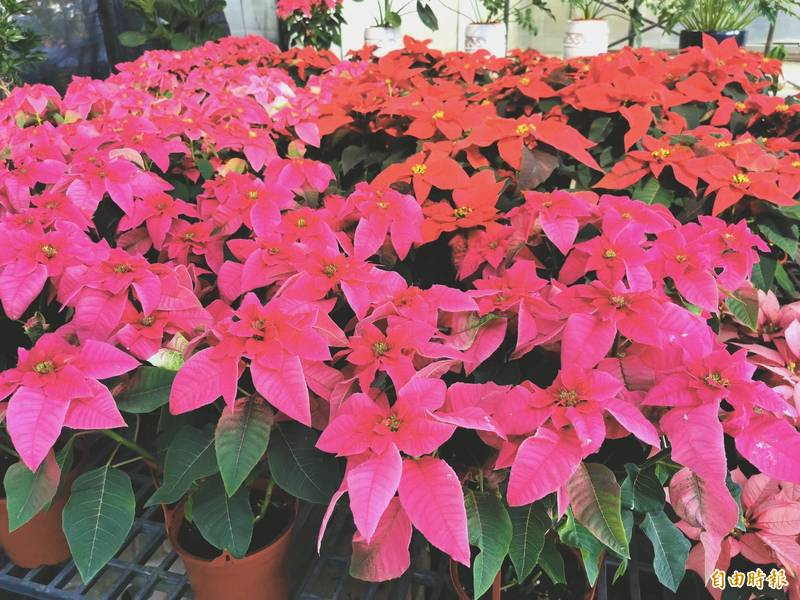 聖誕紅上市,具療癒效果的粉色新品,頗受歡迎。(記者吳俊鋒攝)