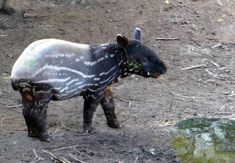 「貘豆」轉眼3個月大,身體花紋開始有了變化。(台北市立動物園提供)
