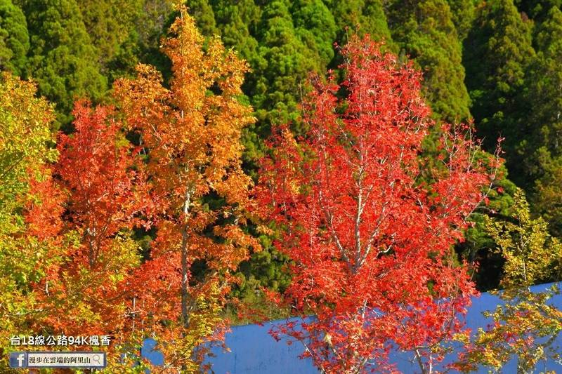 阿里山公路的楓香美景。(黃源明提供)