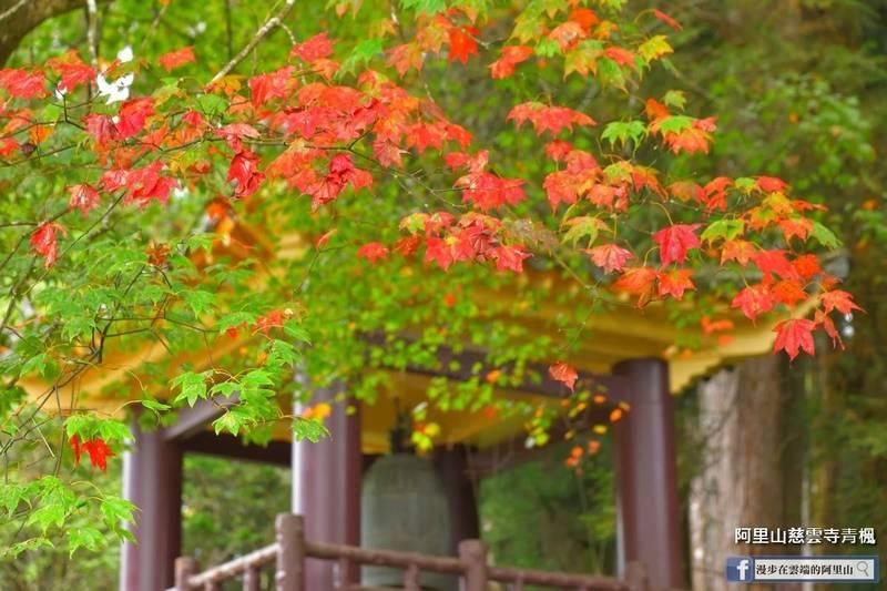 阿里山慈雲寺的青楓開始變色秀了。(黃源明提供)