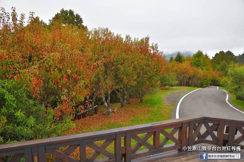 小笠原山的台灣紅榨楓開始變色了。(黃源明提供)