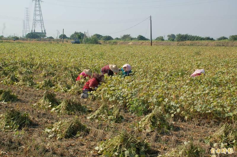 自然熟成的紅豆田採人工採收,生產成本相對增加。(記者李立法攝)
