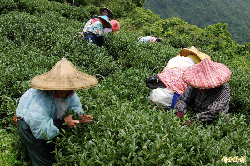 今年入秋後旱象嚴重,南投縣仁愛鄉高山茶區冬茶也受影響,減產約3成。(記者佟振國攝)