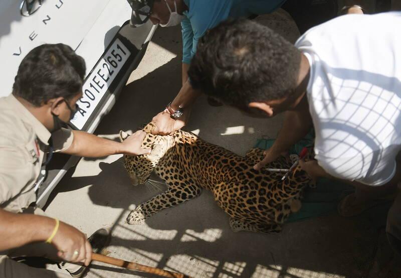 印度阿薩姆邦古瓦哈提市亨格拉巴里鎮1間旅館,週一有隻豹闖入,引起民眾恐慌。(歐新社)