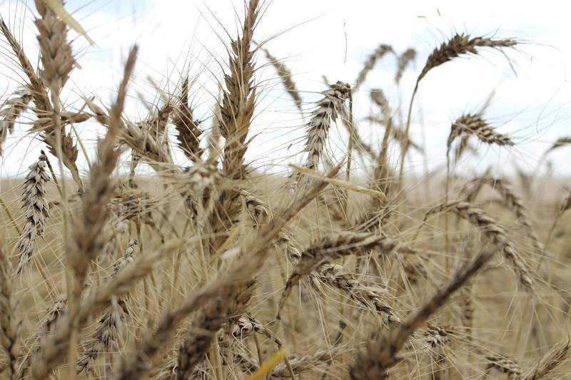 聯合國糧農組織今天表示,11月全球糧食類大宗商品價格大漲至接近6年來最高水準。圖為小麥。(路透檔案照)