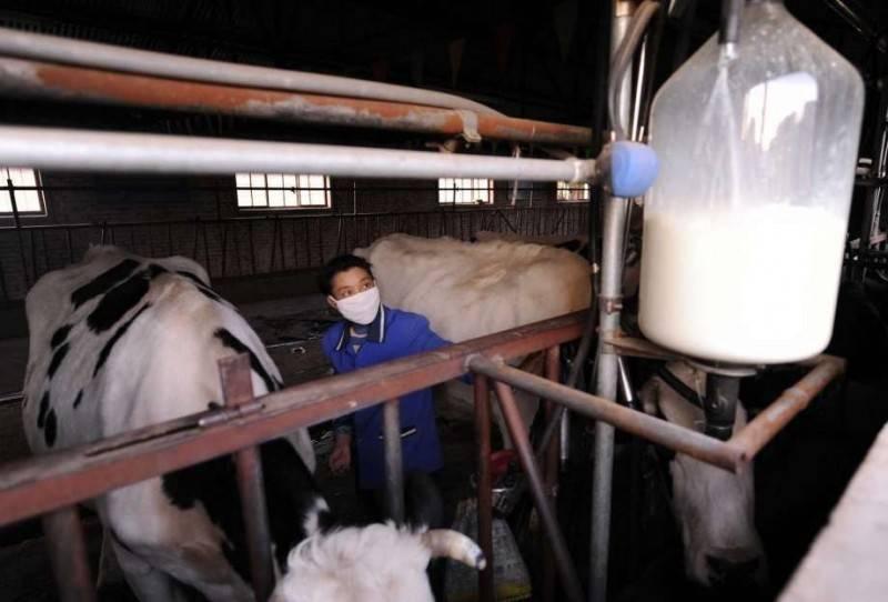 中國甘肅蘭州市一座藥廠去年生產布氏桿菌(Brucellosis)疫苗,因排放廢氣滅菌不徹底,釀成當地大規模感染事件。圖為一家中國牛乳牧場作業情況。(法新社資料照)