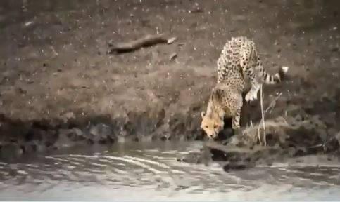 獵豹在湖邊喝水。(擷取自推特@Saket_Badola)