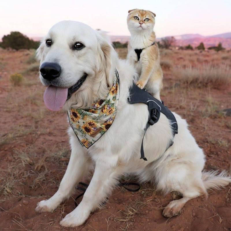 黃金獵犬Samson讓蘇格蘭摺耳貓Cleo騎在背上。(Instagram calvin.andco 授權)