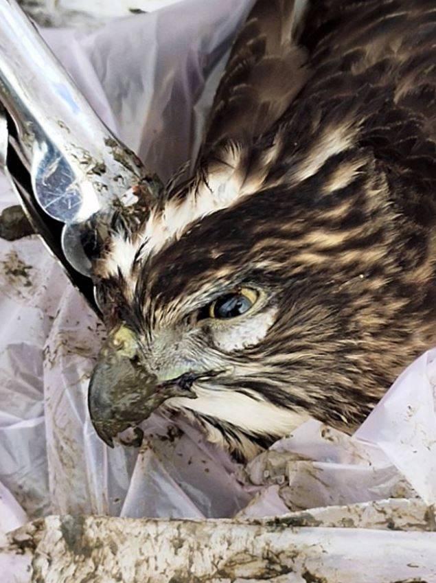 台北市關渡平原水田區大批野鳥疑中毒死亡,包含一隻保育類動物鳳頭蒼鷹。(台北市野鳥學會提供)