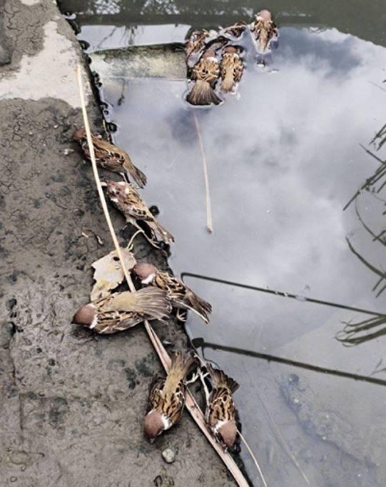 台北市關渡平原水田區大批野鳥疑中毒死亡。(台北市野鳥學會提供)