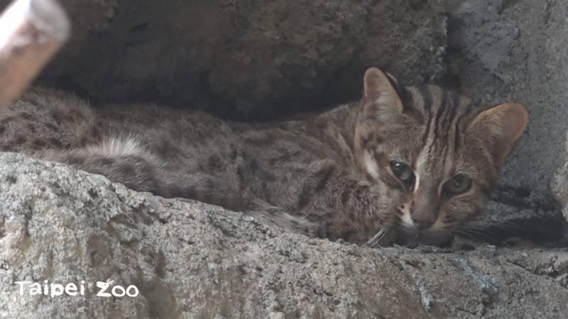 台北市立動物園挖洞脫逃的石虎「飛飛」,今天下午找到了。(資料照)