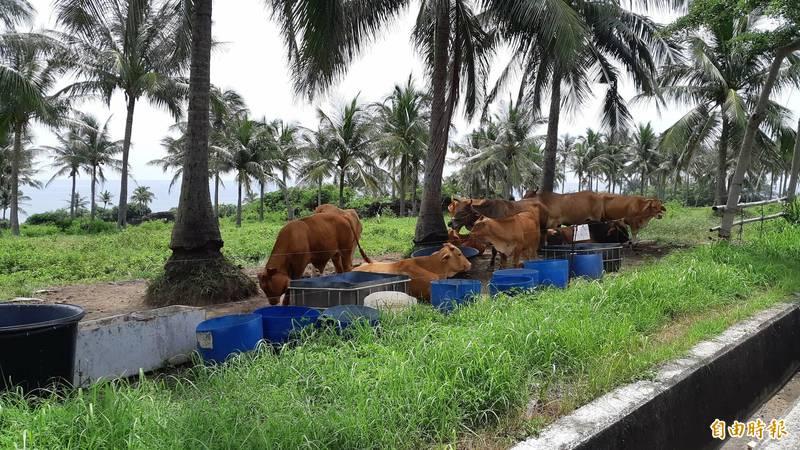 東海岸省道旁原本常見放養牛隻,因縣府最近發布自治條例,這類行為將被開罰。(記者黃明堂攝)