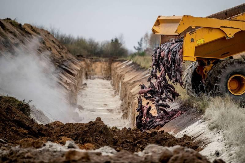 丹麥上個大規模撲殺水貂,當地媒體援引政府機構報告指出,這些水貂屍體可能已汙染了地下水。(路透)