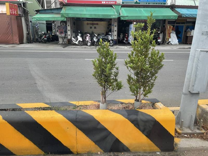嘉義市新民路接近垂楊路口處的分隔島,有種長紅木。(民眾提供)