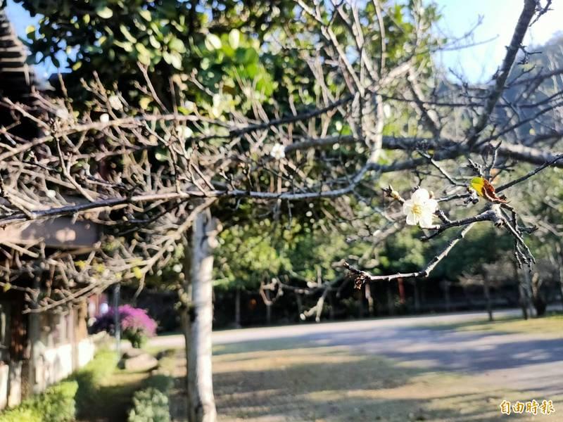 南投信義鄉農會預估今年梅花會報復性盛開,但目前多數梅花仍含苞待放。(記者張協昇攝)