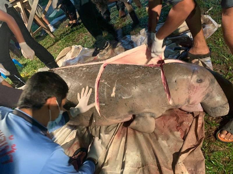 國家公園工作人員將死亡儒艮的遺體帶回岸上進行解剖。(翻攝朝邁海灘國家公園粉專)