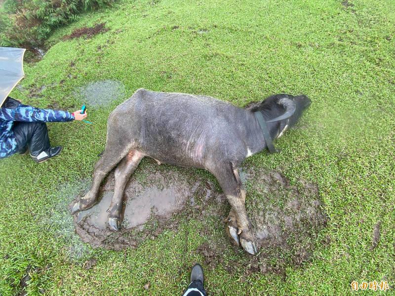 陽明山擎天崗今年多頭水牛離奇死亡,動保處公佈死因為營養不良,議員耿葳批評陽管處推卸責任。(資料照)