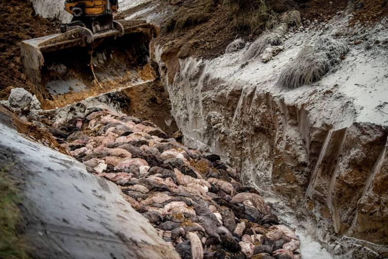 丹麥因武漢肺炎撲殺1700萬隻水貂,孰料掩埋後出現可能汙染水源的問題,之後將挖出400萬具貂屍火化。(路透)