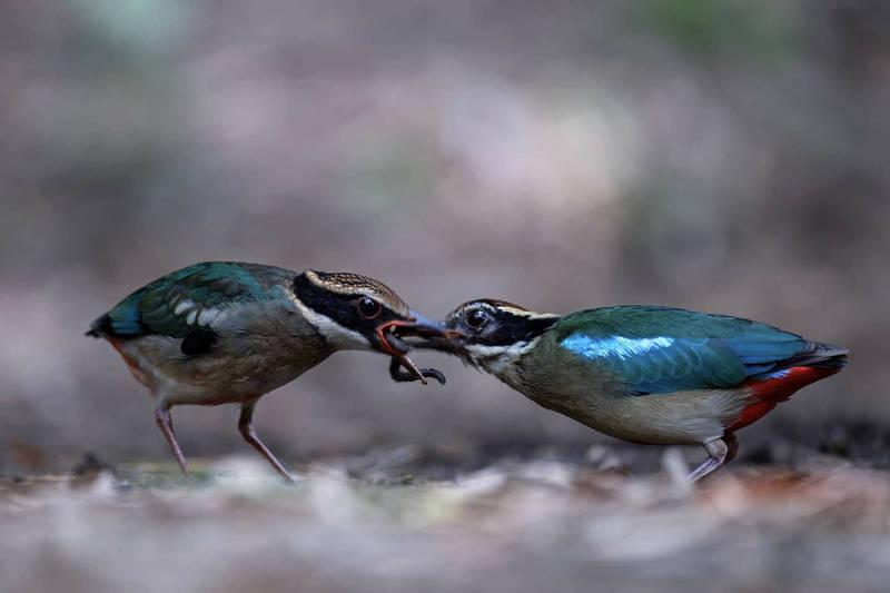 92鳥友守護八色鳥78天 繁殖生態全紀錄