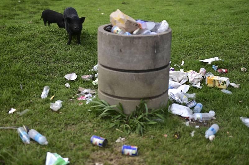 波多黎各野猪会闯进花园和农地觅食,到处打翻垃圾桶并留下刺鼻的尿液和排泄物。(美联社)(photo:LTN)