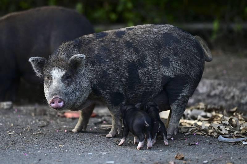 大猪带着小猪在路上肆意行动。(美联社)(photo:LTN)