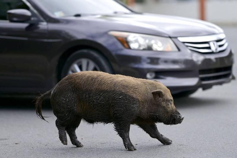 波多黎各遭野猪大举入侵。(美联社)(photo:LTN)