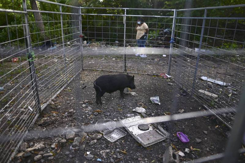 波多黎各去年就针对野猪宣布了紧急状态,以便联邦官员可以插手处理。(美联社)(photo:LTN)