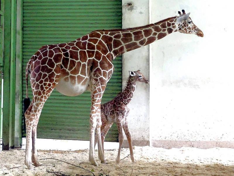 動物園長頸鹿生寶寶。(圖由北市動物園提供)