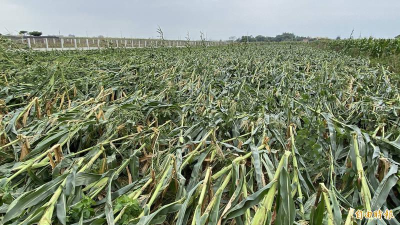 整片青割玉米田全被強風攔腰折斷,無一倖免。(記者楊金城攝)