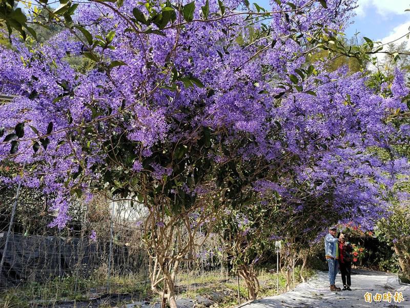 元旦連假已有遊客慕名前來拍攝「紫爆」美景。(記者佟振國攝)