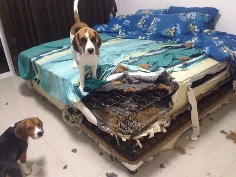 有米格魯的飼主指出,家裡兩隻米格魯把彈簧床墊咬出一個大洞,讓網友紛紛笑喊,米格魯的眼神超犀利,根本就是「緝毒犬」。(圖擷取自臉書_爆廢1公社)