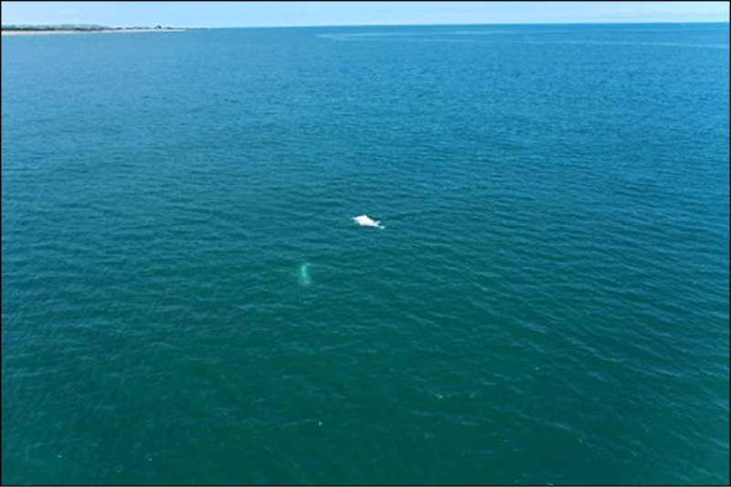 海保署使用無人機,空拍白海豚族群動態。(記者洪定宏翻攝)