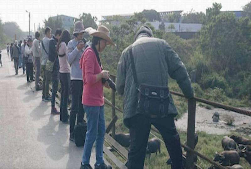 烏溪河畔水牛集體渡溪消息傳出,假日吸引大批攝手攜帶「大砲」擠滿便橋取景,與砂石車爭道,險象環生。(陳先生提供)
