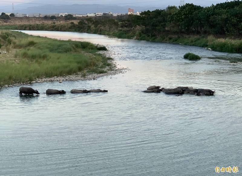 烏溪河畔水牛集體渡溪,有如置身非洲草原般壯觀。(記者湯世名攝)