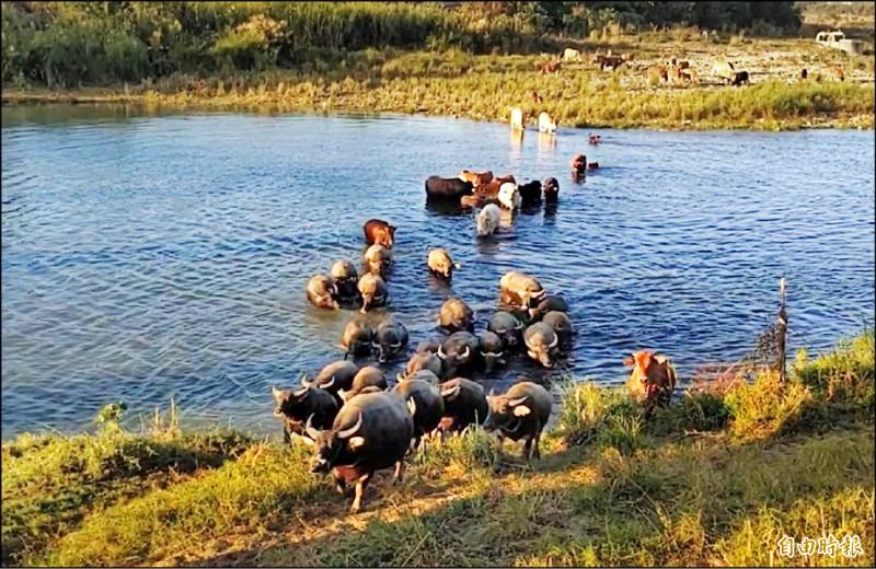 牛群橫渡烏溪的畫面美麗壯觀,近來引起愛好攝影人士爭相前往拍照。(記者鄭旭凱攝)