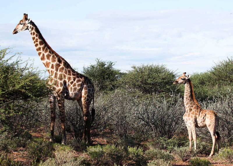 在這張驚人的對比照中,兩隻長頸鹿均為成年個體,但比例及體型卻完全不同。(路透)