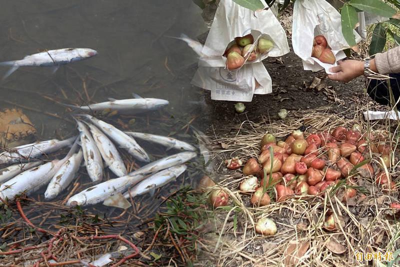 農委會公告蓮霧、虱目魚天然災害現金救助區域。左為凍死虱目魚,右為蓮霧落果。(資料照,本報合成)