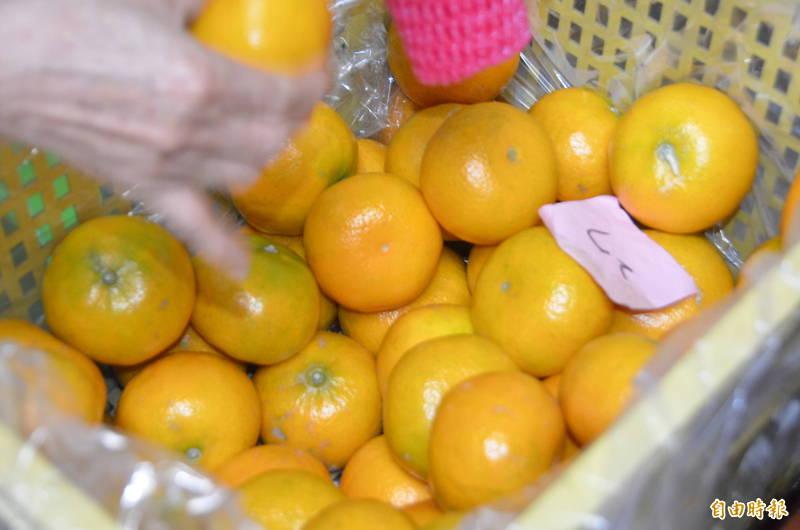 寒流低溫有助茂谷柑後熟、轉色更漂亮、且甜度拉升,整體品質提升。(記者黃淑莉攝)