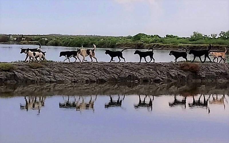 北門區流浪犬成緃隊走過魚塭,像「班兵」一樣井然有序。(記者楊金城翻攝)