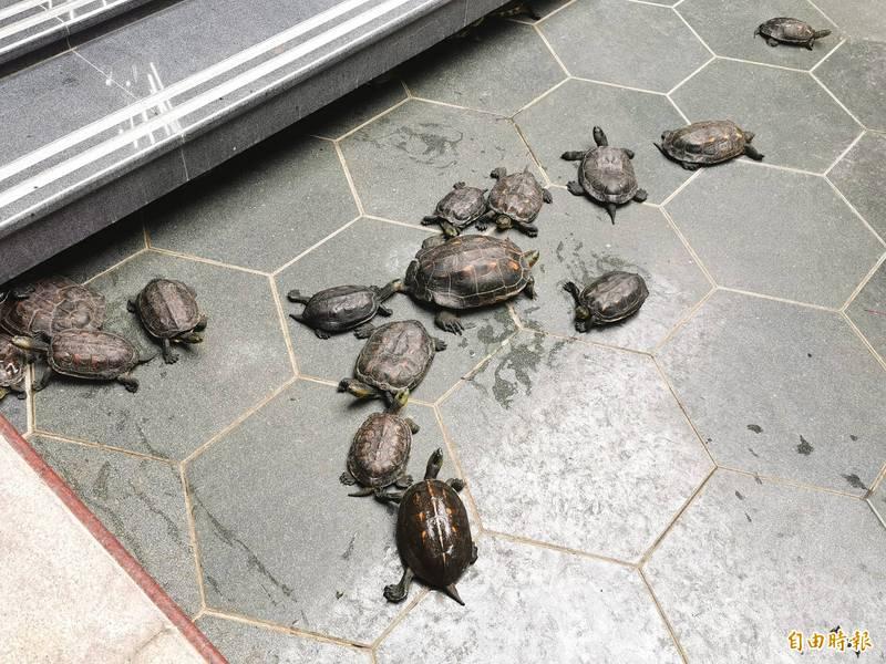 台南玉井北極殿重建完工,125隻台灣龜回家。(記者吳俊鋒攝)