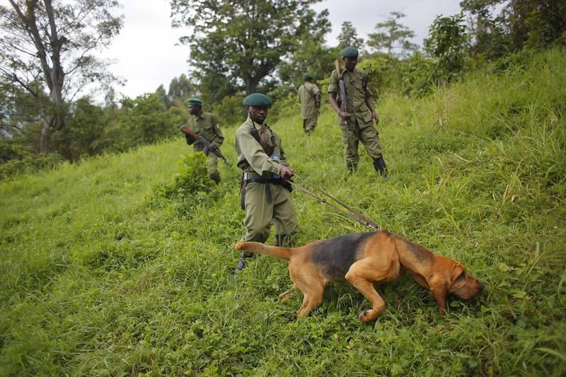 剛果維龍加國家公園驚傳遭武裝匪徒襲擊,造成至少6名護林員身亡。維龍加國家公園護林員示意圖。(美聯社)
