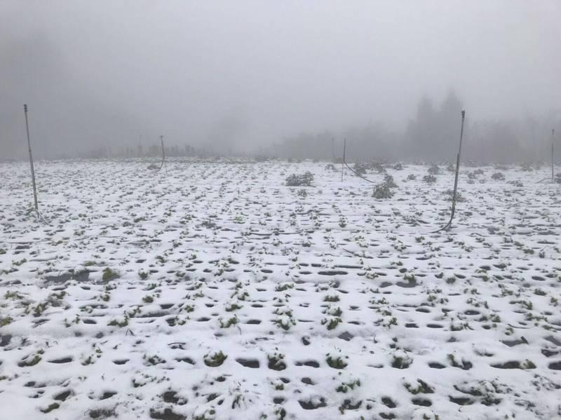 新竹縣尖石鄉新光、鎮西堡甘藍、結球白菜、蘿蔔田今天被白雪覆蓋,預估這波寒害造成至少有4公頃將無法收成。(圖由縣府農業處提供)