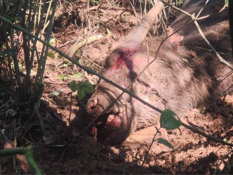 有民眾今於陽明山國家公園境內的竹篙山南邊界發現一頭死亡小牛,四肢僵硬、眼口鼻冒血,死狀悽慘。(翻攝臉書社團「為牛請命-巡牛志工隊」)