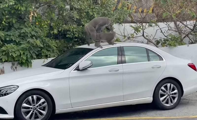 有網友在臉書分享和朋友前往柴山喝咖啡,卻碰到2隻獼猴在朋友的賓士車上大搞「車震」,讓他笑說「可以簽樂透加威力彩了」。(圖擷取自臉書「爆廢公社公開版」)