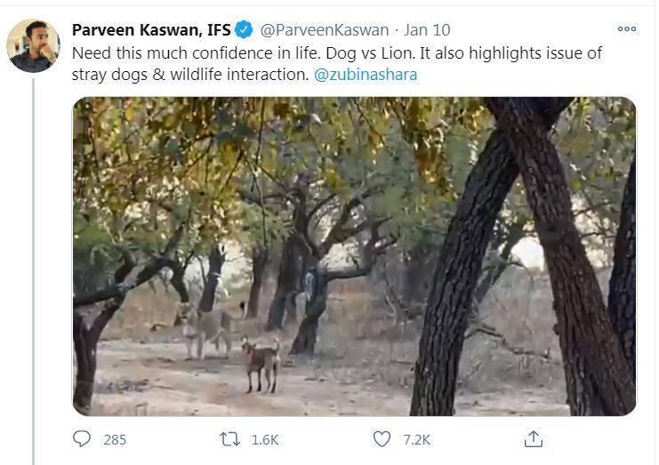 印度生態保護家卡司旺(Parveen Kaswan)於推特分享流浪狗大戰母獅影片。(圖擷取自推特)