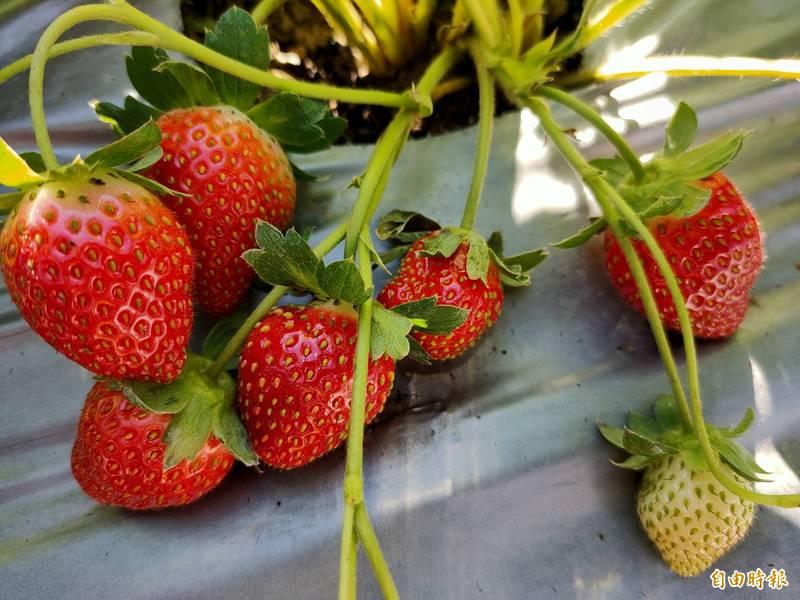 草莓控注意!南投國姓鄉「草莓公路」開張 寒冬品質更優